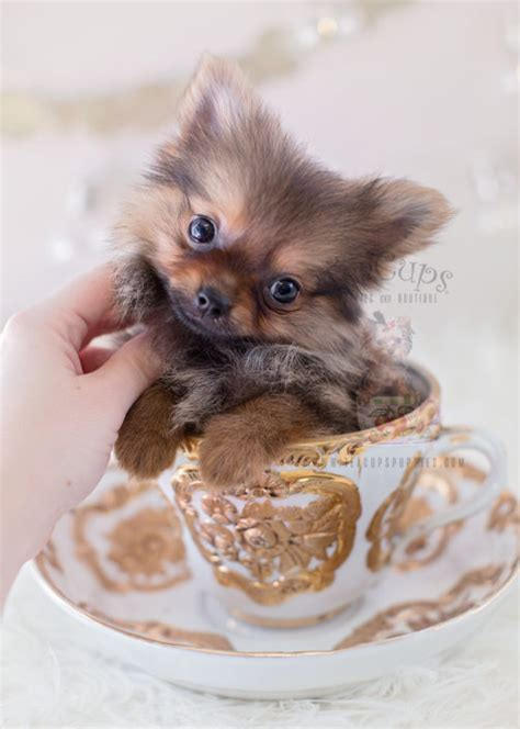 micro teacup pomeranian puppies sale tiny teacup pomeranian puppies teacups puppies boutique