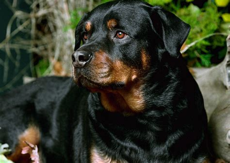 information about rottweilers facts about rottweilers breeds picture
