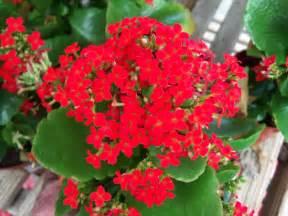 Kalanchoe Online Plant Guide Kalanchoe Blossfeldiana Kalanchoe