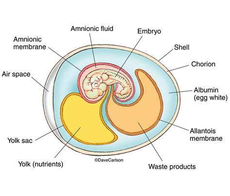 diagram of an amniotic egg amniote egg carlson stock