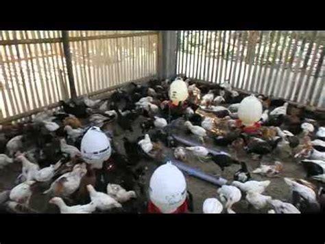 Bibit Ayam Jowo azolla untuk pakan ayam joper doovi