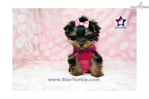 tiny teacup yorkies sale louisiana terrier yorkie puppy for sale near los angeles california b1fbe763 1b21