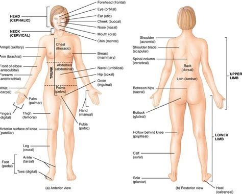 sections of body best 25 human body parts ideas on pinterest human body