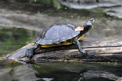 file yellow bellied slider basking jpg