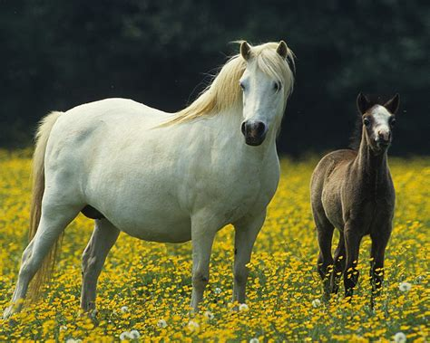 white horse small black colt meadow  yellow flowers