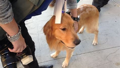 fergus golden retriever 11 most shocking stories of 2015 dogtime