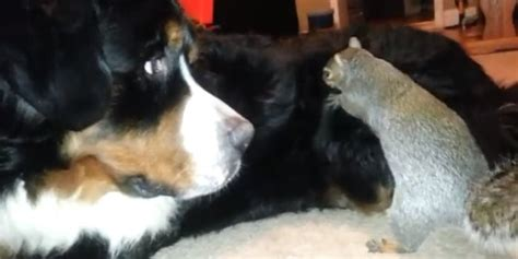 dogs pecans squirrel attempts to hide nut in bernese mountain s fur
