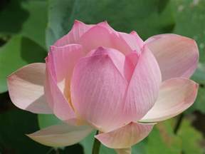Picture Of Lotus Flower Picture Lotus Flower 4