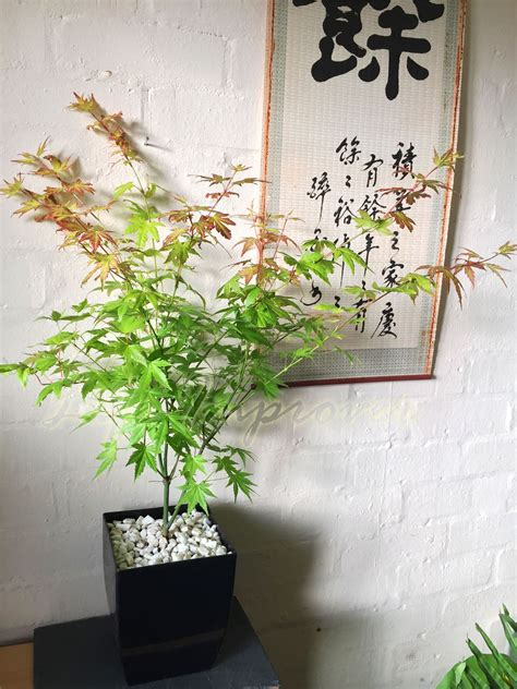 indoor japanese plants japanese maple momiji acer palmatum house plant pot