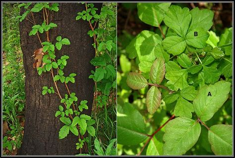 poison ivy oak and sumac information center www 95 best poison ivy and friends images on pinterest