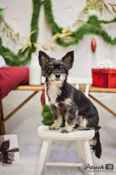 toronto pet photographer    merry  christmas pawsh magazine