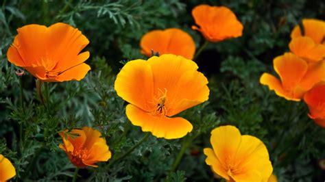 orange flowers wallpapers hd wallpapers id
