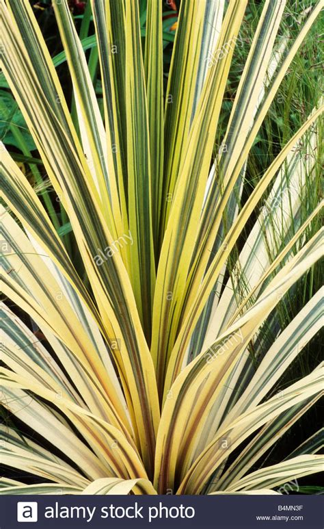 yellow foliage plants cordyline torbay dazzler green and yellow leaf leaves