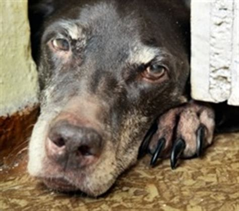 lymphoma in dogs prognosis lymphoma lymphosarcoma symptoms in dogs and cats petmeds 174