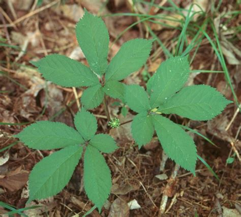 American Ginseng the evolution of my opinion santa fe