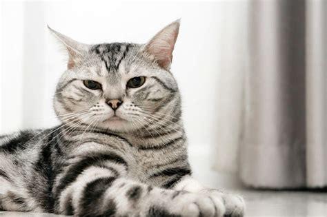 shorthair cat image gallery shorthair