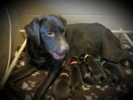 beagador puppies for sale beagle x labrador beagador puppies shrewsbury shropshire pets4homes