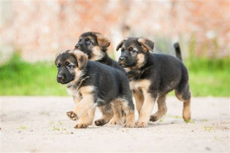when do puppies get their period when do german shepherds stop growing find out the now 2017