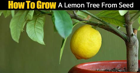 hardest plants to grow how to grow citrus indoors how to grow a lemon tree from seed