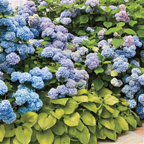 french hydrangea a perfect pairing gardening 101