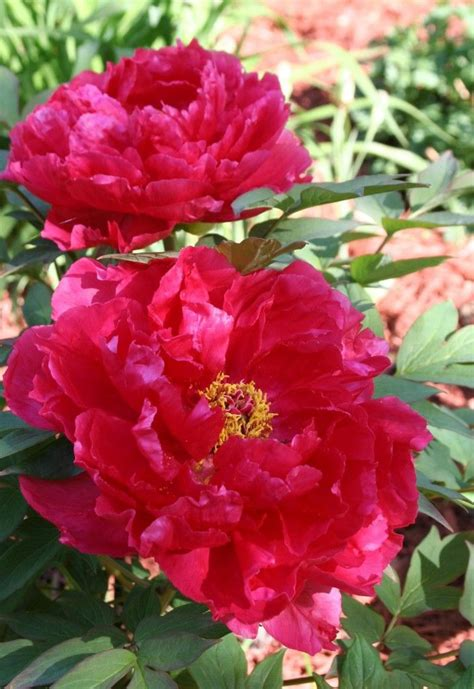 how to grow peonies flowers and outdoors pinterest
