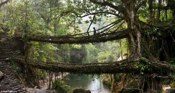 meghalaya villagers create living bridges by training roots across a river daily mail online