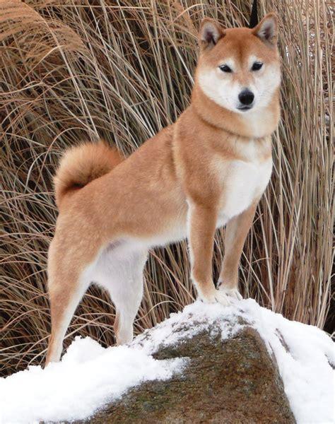 shiba inu the shiba inu animals shows