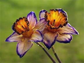 Ideas For Daffodil Varieties Design Purple Narcissus Flower 375768 213731972029973 195024383n Jpg Gardens