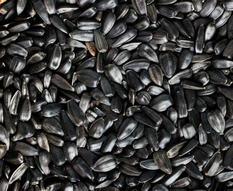 lyric black sunflower seed growing sunflowers how to grow and care for sunflower plants the gardening cook