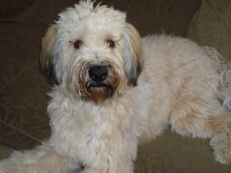 soft haired wheaten terrier puppy soft coated wheaten terrier photos pictures soft coated wheaten terriers page 3
