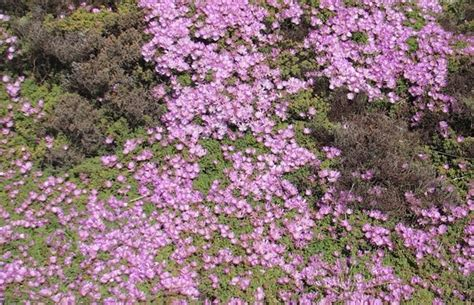 treknature ground cover flowers photo
