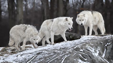 black and white anime wolves 3 background wallpaper nature animals white wolf wolves wallpaper allwallpaper