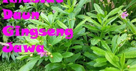 Permen Ginseng Untuk Kesehatan khasiat daun gingseng jawa untuk kesehatan