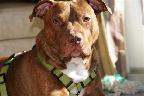 pitbull puppies nj whatever happened to the pit bull found in new jersey trash chute tsm