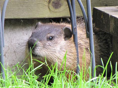 i have a groundhog in my backyard canadian wildlife federation i have a groundhog in my