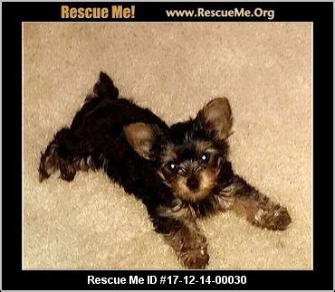 michigan yorkie rescue michigan yorkie rescue adoptions rescueme org