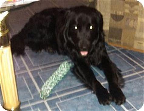 golden retriever rescue adoption ontario teddy adopted 013 0419 hamilton on golden