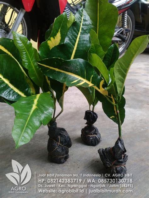 Jual Bibit Bunga Bali jual bibit puring bali kuning agro bibit id