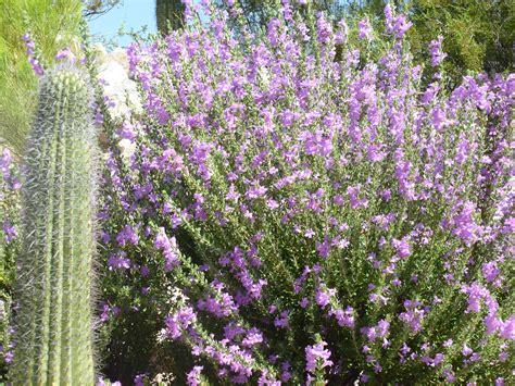 Purple Flowered Plants For The Garden Bushes With Purple Flowers Bring To The Desert Tjs Garden Flowersbushestrees