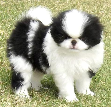 japanese chin puppy japanese chin breed information and images k9rl