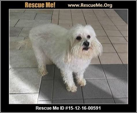 havanese rescue san diego 1000 images about dogs need to be adopted havanese cotons maltese poodles
