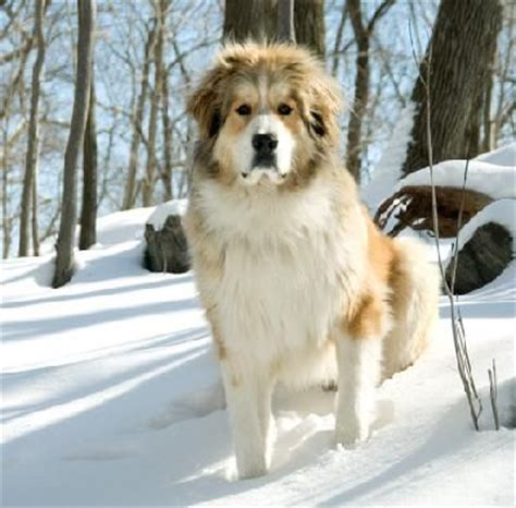 great pyrenees bernese mountain mix bernese mountain great pyrenees mix omg want butterflys
