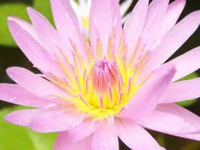 What Is Special About The Lotus Flower Flower Wallpapers Flower Pictures Flowers
