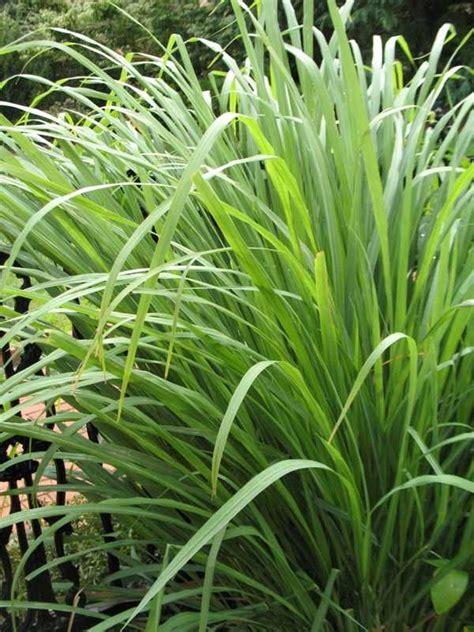 piante antizanzare da giardino antizanzare da esterno giardinaggio migliori