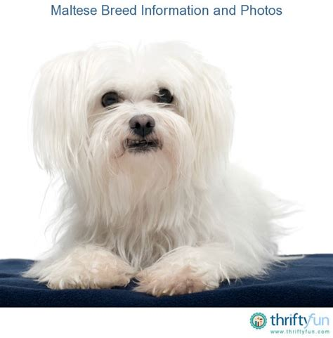 maltese information maltese breed information and photos thriftyfun