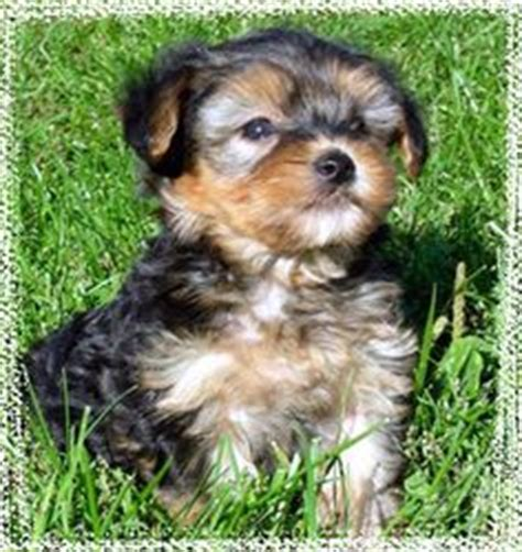 yorkie poo puppies arizona chang e 3 and yorkie on