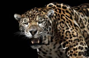 Jaguar Poaching Illegal Animal Poaching This Site Gives A