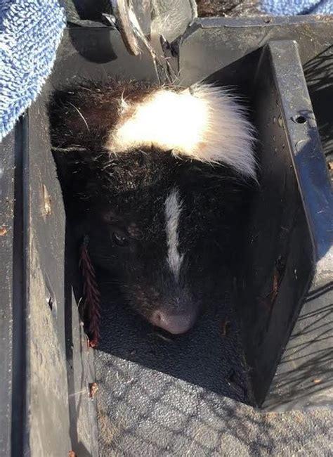skunk stuck  bait box wildcare