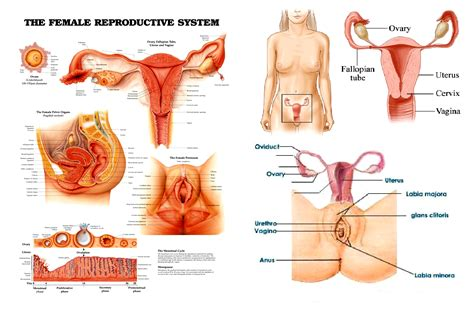 anatomy coloring book reproductive system reproductive organ and