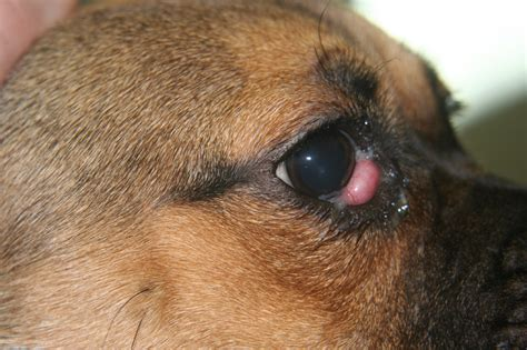 cherry eye in puppies ophthalmology